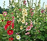 20 Graines semence rose tremiere coloris mélangé rouge, blanc, rose potager /semences /fleurs graines certifiés