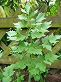 20 graines semences légumes ache de montagne ou liveche herbe aromatique