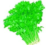 Lot de 50 Graines de Coriandre Coriandrum Sativum Aromatique Potager